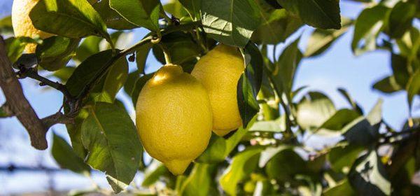 Zitronen, Exportgut von Sizilien