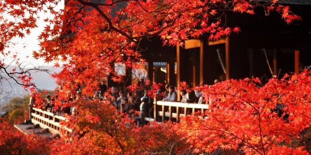 Leuchtend rot: der japanische Ahorn im Herbst