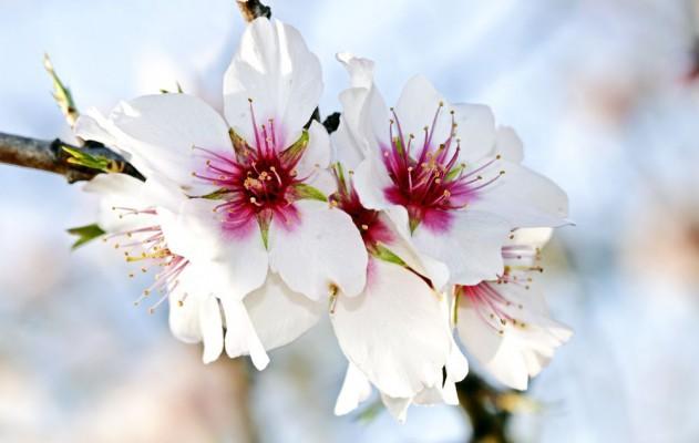 Die Mandelblüte auf Mallorca
