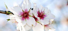 Mallorca – Frühling in Rosa und Weiß