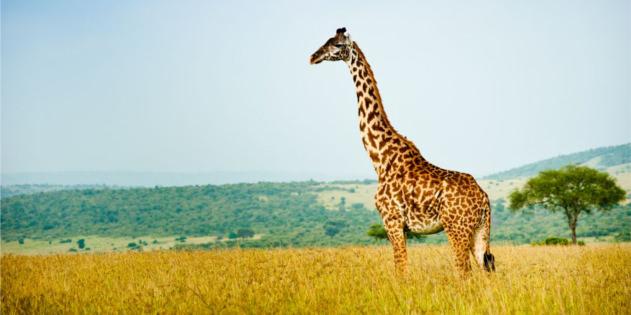 giraffe in Kenia