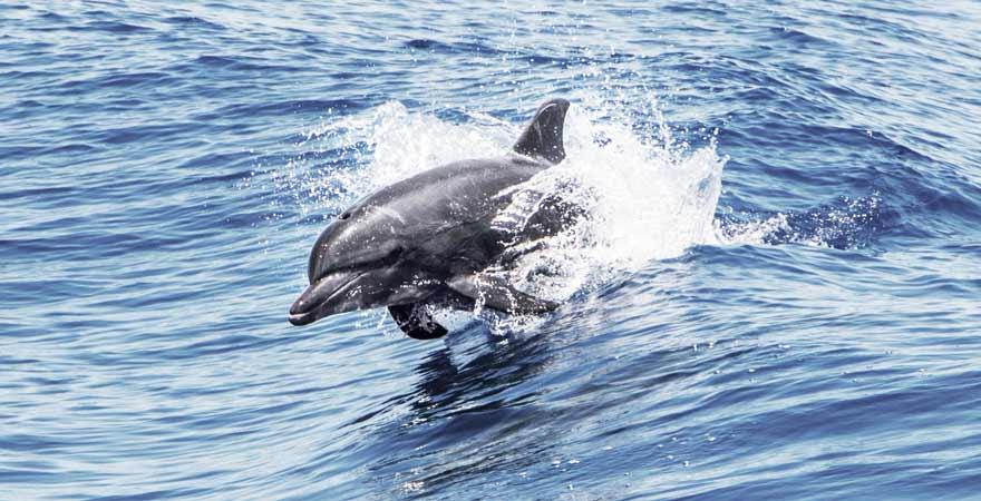 Delfin im Meer