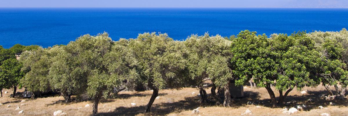 Olivenernte Zypern