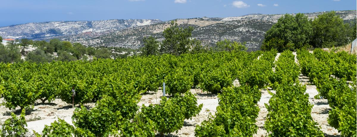 Weinanbau Zypern