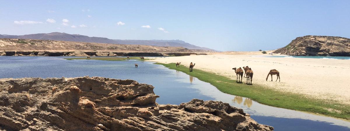 Kamele an einem Fluss in der Naehe von Salalah