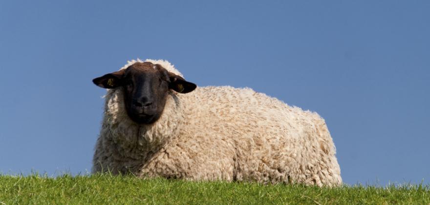Schaf in St. Peter Ording