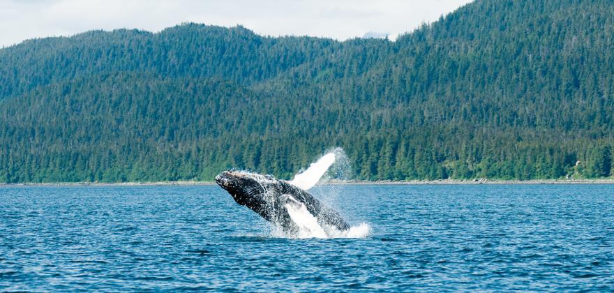 Orcas in Kanada