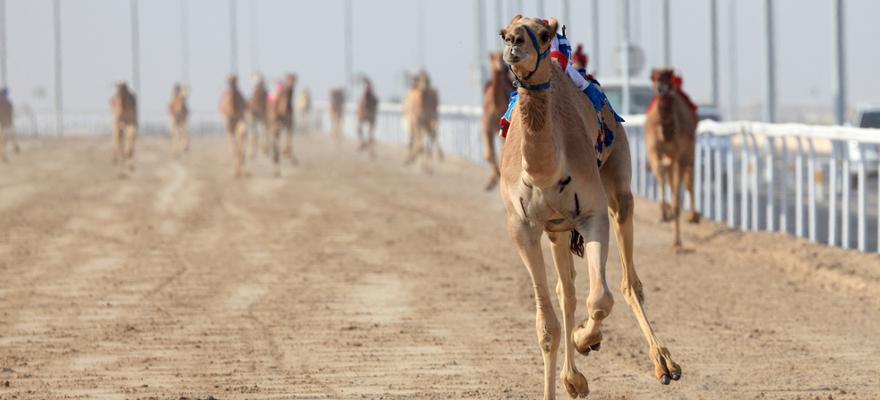 Kamelrennen Ras Al Khaimah
