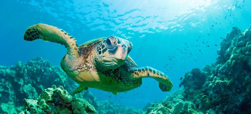 Tauchen mit Schildkroete im Meer