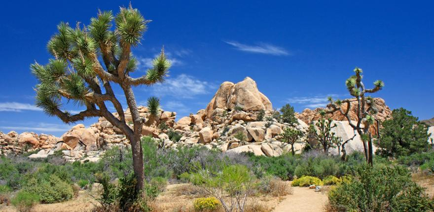 joshua tree Nationalpark in den USA