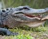 Krokodil everglades