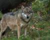 wolf bayerischer wald