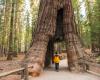 Mammutbaum Yosemite nationalpark