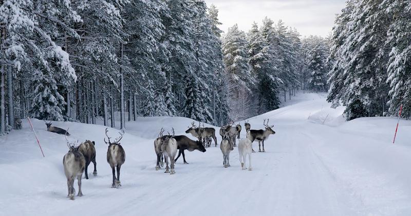 Elche in Schweden
