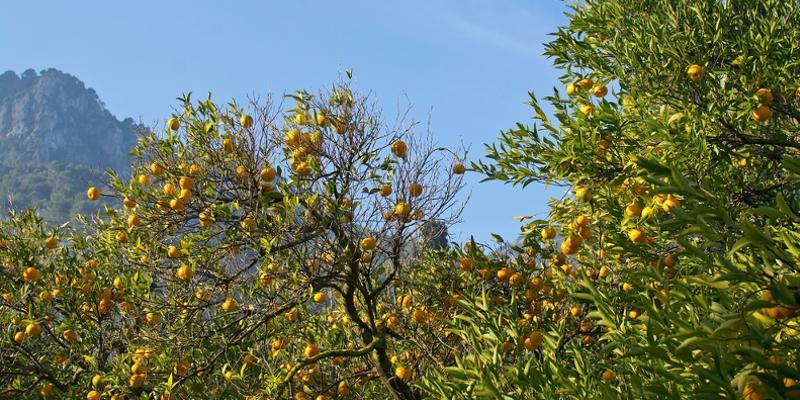 Orangenbäume auf Mallorca