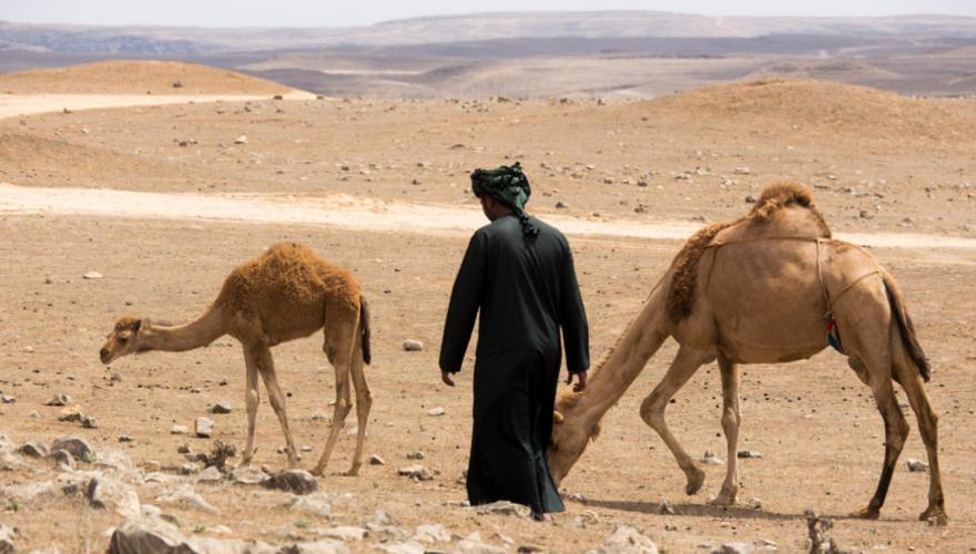 Kamele in der Wueste bei Salalah im Oman