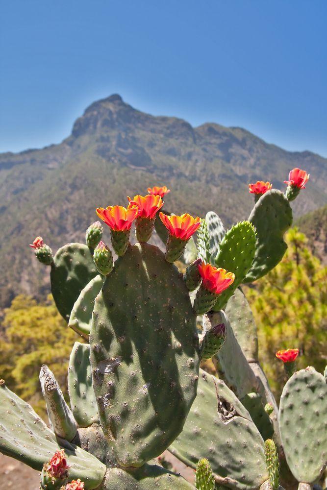 La-Palma-Kaktus