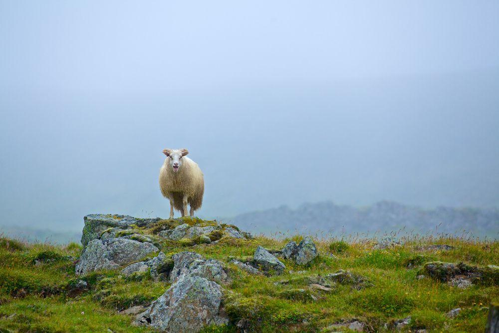Schaf in Island, das auf einer Wiese steht