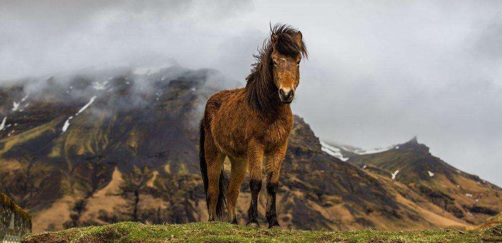 Pferd in Island