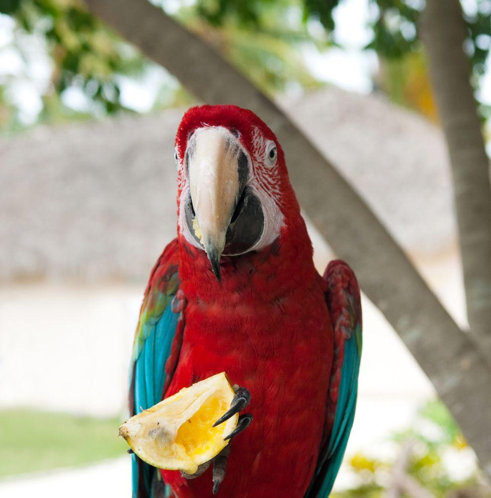 karibik-papagei