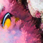 clownfish beim Tauchen im Oman