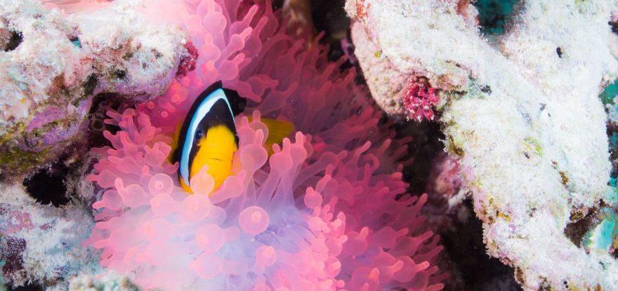 Clownfisch beim Tauchen