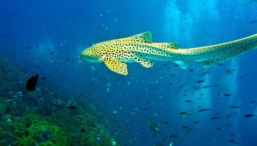 Leopardenhai Thailand