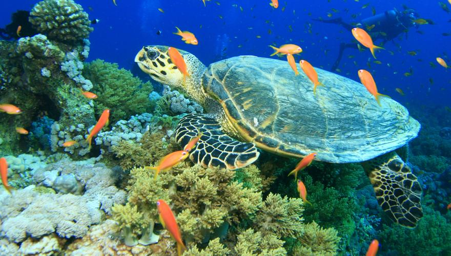 Meeresschildkröte am Riff