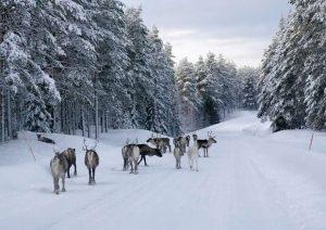 Schweden-Rentiere-Winter