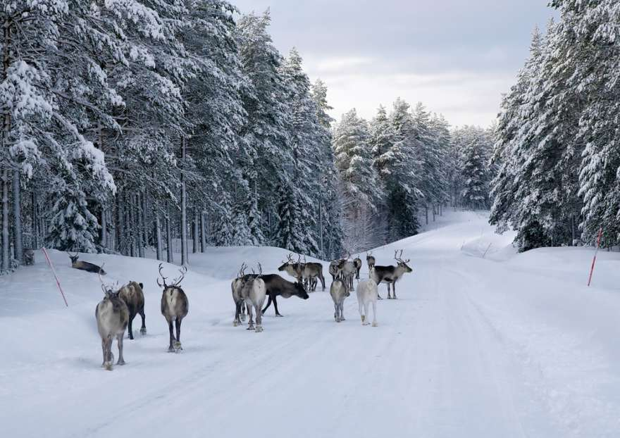 Rentiere-Winter
