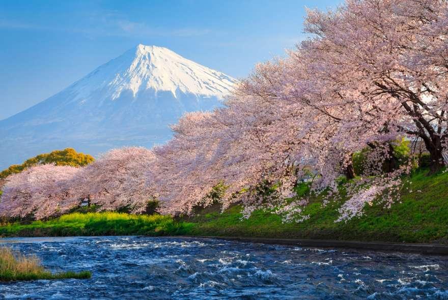 Japan Kirschblütenfest