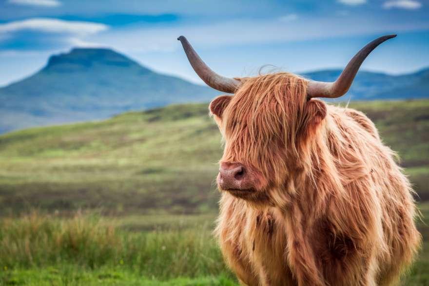 Schottland Isle of Skye Highlandcow