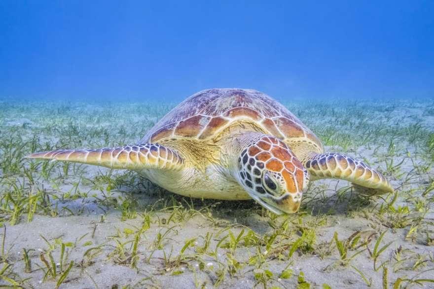 Schildkröte Marsa Alam