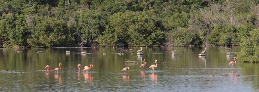 Flamingos auf Cayo Santa Maria auf Kuba