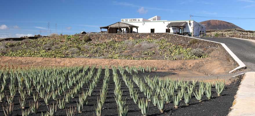 Aloe-Vera-Farm