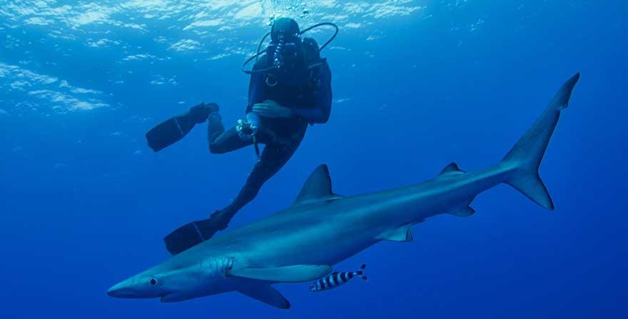 Tauchen-mit-Blauhai-auf-den-Azoren