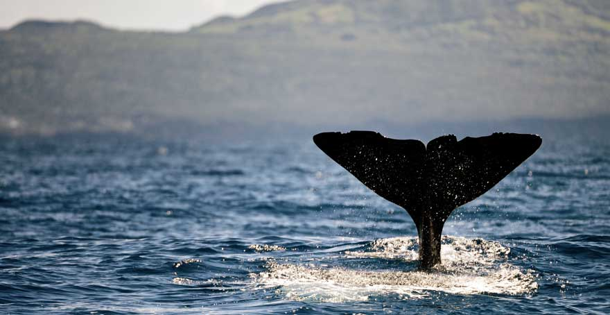 Walbeobachtung-auf-den-Azoren