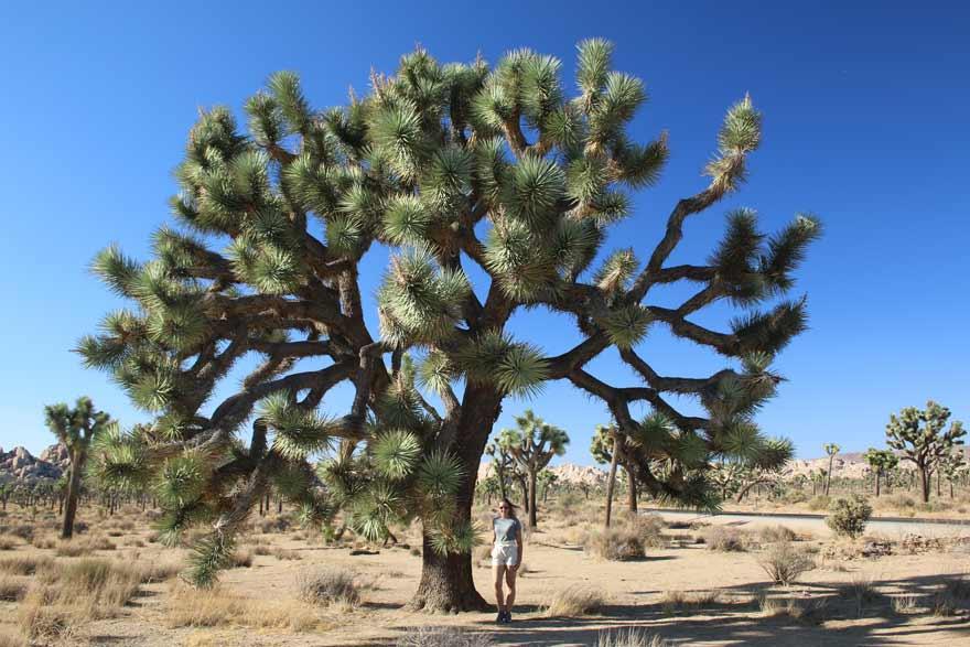 Joshua Tree Nationalpark in Kalifornien