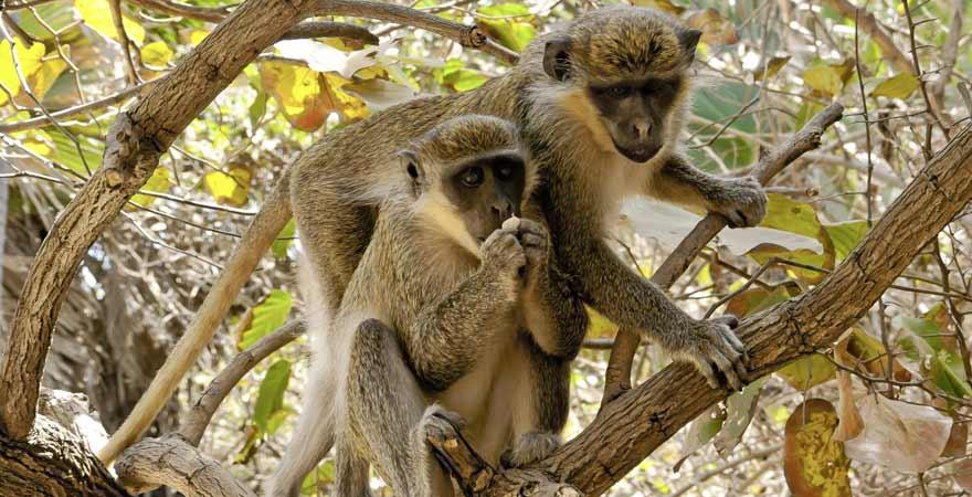 Affen im Baum in Gambia