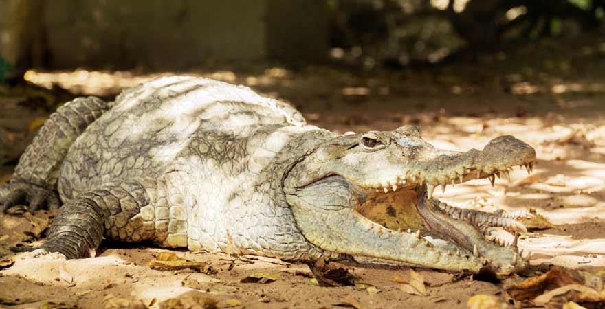 Krokodil in Gambia