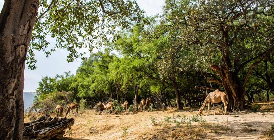 Kamele im Wadi Darbat im Oman