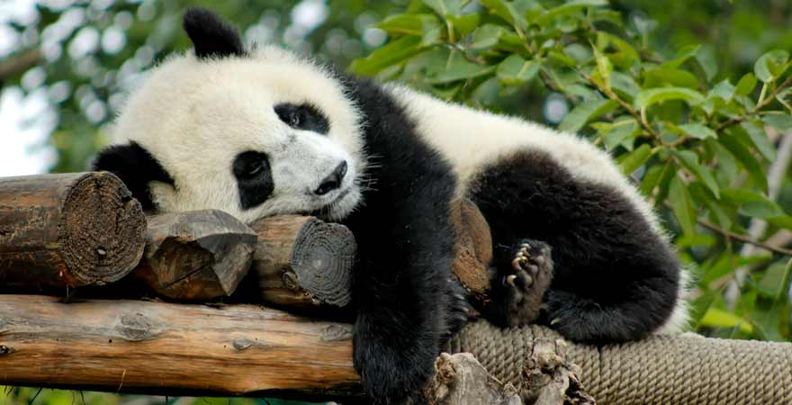 Panda in Chengdu in China
