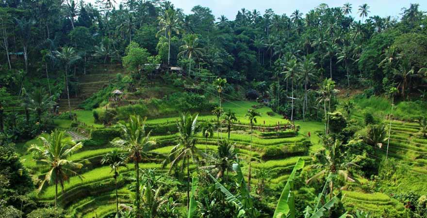 Tegalalang Reisterrassen in Ubud auf Bali