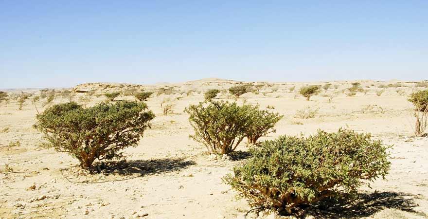 Weihrauchbäume im Wadi Dawkha im Oman