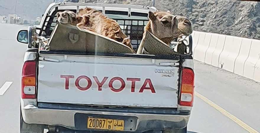 Kamele im Auto im Oman