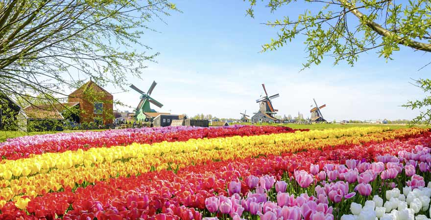 Tulpen und Windmühle in Zaanse Schans in den Niederlanden