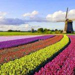 Windmühle und Tulpen in den Niederlanden