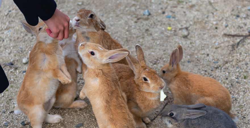Kaninchen auf der Haseninsel in Japan