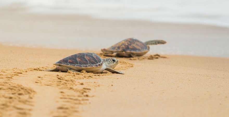 Schildkröten an einem Strand