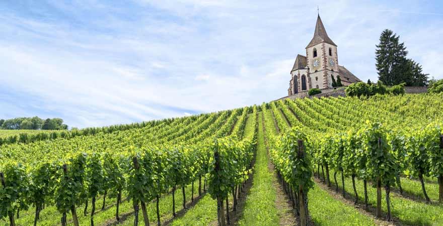 Weinberg im Elsass in Frankreich